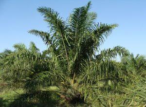 oil-palm-287899_640