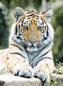 tiger-1367197_1280