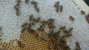 Die Honigbienen bei der Arbeit.