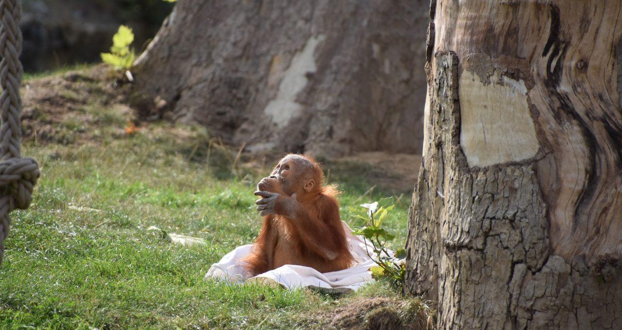 orangutan-3698506_1920